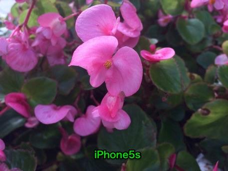 iPhone5sで近距離の花