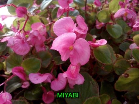 MIYABIで近距離の花