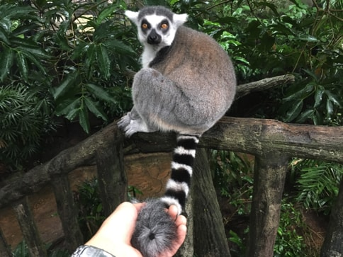 シンガポール動物園のキツネザル