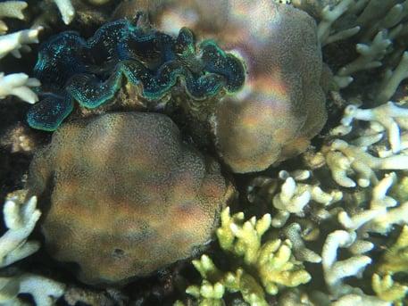 コロン島のアイランドホッピングツアーのシャコ貝