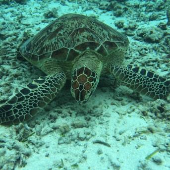 阿真ビーチのウミガメ